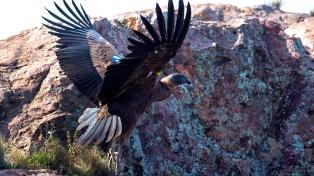 Liberaron tres nuevos cóndores andinos