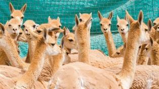 Trabajan en el aprovechamiento sustentable de la vicuña