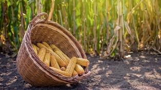 El 99 % del maíz está en buena y muy buena condición