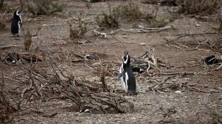 Los pingüinos machos comenzaron a llegar a la reserva Cabo Vírgenes