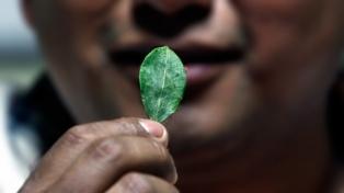 La OMS realizará un estudio sobre la propiedad medicinal  de la hoja de coca