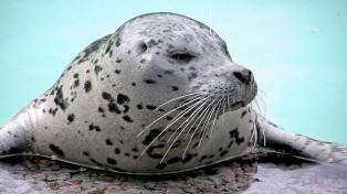 Aseguran que las focas dejarán de ser un animal anfibio y se moverán sólo en el agua