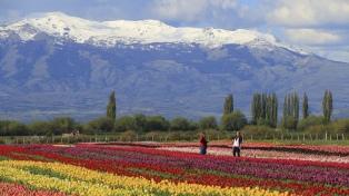 Productores de Trevelin buscan reanudar la exportación de bulbos de tulipanes