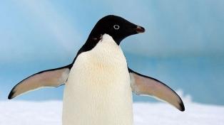 Piden crear un área protegida en la Antártida por la muerte de pingüinos