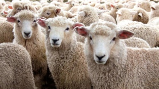 El Senasa declara a la región patagónica libre de brucelosis ovina y caprina