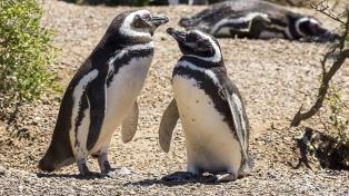 Pingüinos mudan su mayor colonia del mundo de Punta Tombo a la Península Valdés