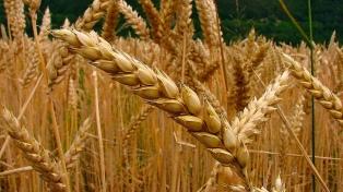 La proyección de la cosecha de cebada es de 2.900.000 toneladas
