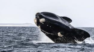 El 15 de junio comienza la temporada de avistaje de ballenas en Península Valdés