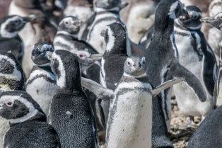 Los pingüinos mudaron su mayor colonia del mundo