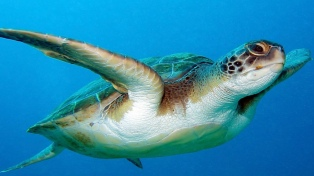 Mil tortugas marinas mueren cada año tras quedar enredadas en la basura
