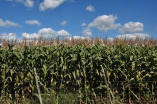 La sequía provocó fuertes recortes en las estimaciones de la cosecha de soja y maíz