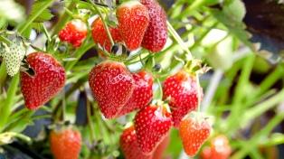 Calculan que las exportaciones de frutillas generarían 6.000 puestos de trabajo