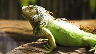 Las iguanas de Florida se congelan y caen al piso