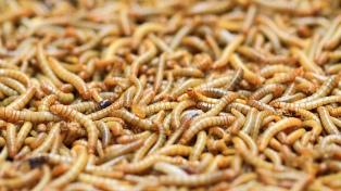 Gusanos de la harina pueden descomponer más rápido el plástico