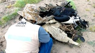 Investigarán si la muerte de 34 cóndores fue por agroquímicos