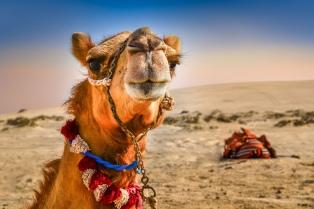 El botox llegó a las trompa de los camellos