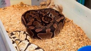 Incautan más de 200 serpientes exóticas en un departamento de Once