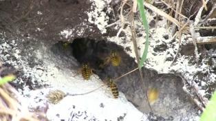 """Las avispas """"carroñeras"""" que afectan la apicultura, la ganadería y la fruticultura patagónica"""
