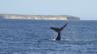 Las primeras ballenas del año llegaron a Puerto Madryn, en pareja, y con sus crías