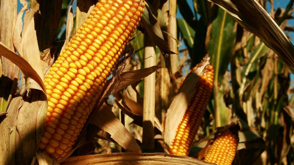 SANTA FE: Estiman un aumento del área sembrada para la campaña 2018-2019, mayor en trigo y maíz