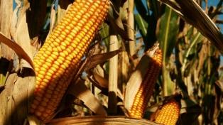 Esperan un récord de 33 millones de toneladas de maiz exportadas