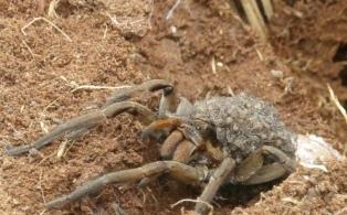 Hallan más de 200 especies de arañas, 17 no registradas en Argentina