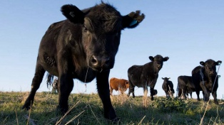 """Detectaron un caso de """"vaca loca"""""""