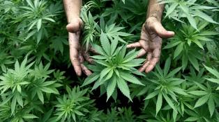 La Justicia avanza en la legalización del uso recreativo de la marihuana