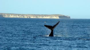 Divisaron las primeras ballenas de la temporada en cercanías de Puerto Madryn