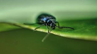 Un estudio en escarabajos demostró que el cambio climático afecta la fertilidad masculina
