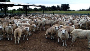 Impulsan la venta de corderos a mercados internacionales