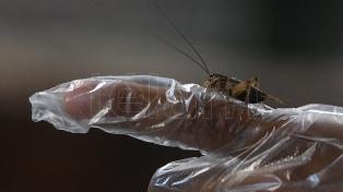 Comer insectos, una tendencia gourmet que crece en Europa y se acerca a la Argentina