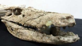 Presentan el fósil de un cocodrilo que vivió hace 70 millones de años en la Patagonia