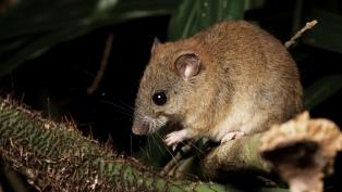 Un roedor, el primer mamífero extinto por el cambio climático