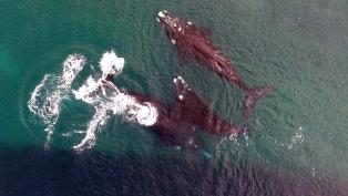 Se divisaron las primeras 63 ballenas recién nacidas en el Golfo Nuevo, al sur de Península Valdés