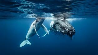 """El seguimiento satelital de 23 ballenas tuvo """"resultados muy satisfactorios"""", indicó experto"""