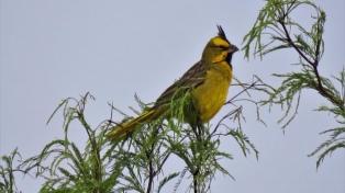 Detienen a dos hombres por traficar cardenales amarillos, una especie en extinción