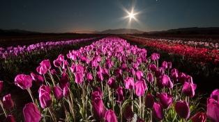Una alfombra de colores tapiza los campos con el florecer de los tulipanes