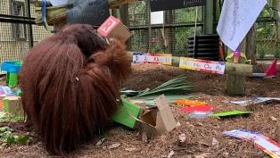 La orangutana Sandra vivirá con simios rescatados de circos y espacios de entretenimiento