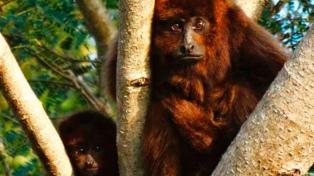 El mono aullador rojo que habita en Argentina, entre los 25 primates más amenazados del mundo