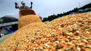 El 89% del maíz se presenta con buenas condiciones