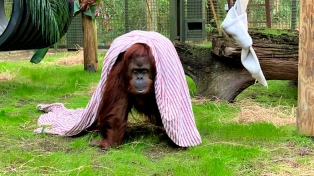 La orangutana Sandra arribó al santuario estadounidense donde vivirá el resto de su vida