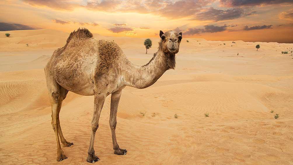 Sacrificarán a miles de camellos salvajes que compiten por el agua