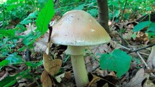 Murió por consumir hongos venenosos en las sierras