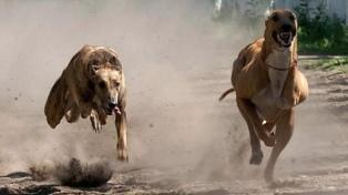 Cuatro detenidos por organizar carreras de galgos en Carhué