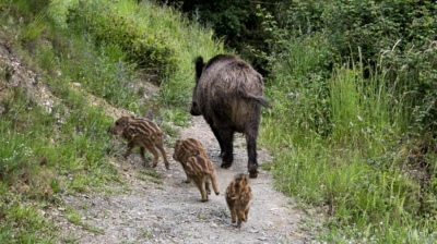 Detuvieron a cazadores con dos hembras de jabalí y 15 crías