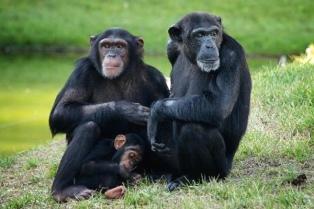 Presentan un hábeas corpus a favor de tres chimpancés que viven en el Ecoparque porteño