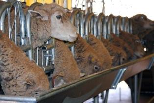Facultad de Agronomía procura elaborar yogur y ricota de ovino