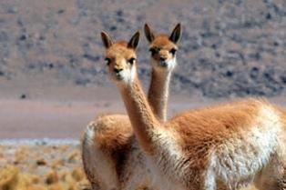 Los científicos cuestionan la autorización de la caza del guanaco