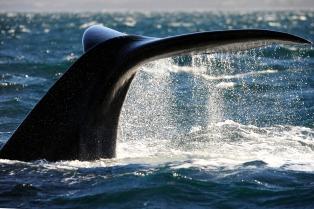 Disminuyó la población de ballenas en el Golfo Nuevo